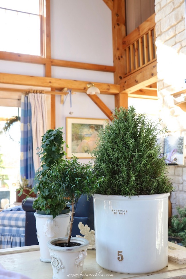 Winter living room rosemary plants to brighten homes after Christmas
