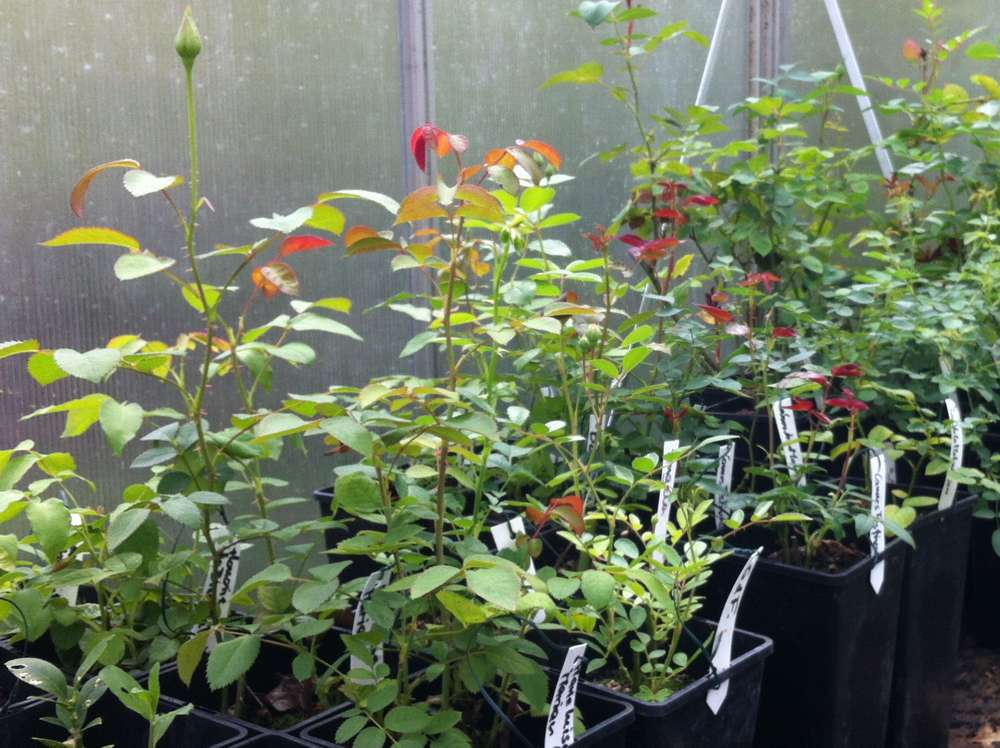 tolle gartentipps container rosen richtig pflanzen. Black Bedroom Furniture Sets. Home Design Ideas