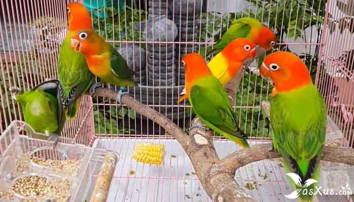 15 Jenis Lovebird Termahal di Indonesia Dan Harganya