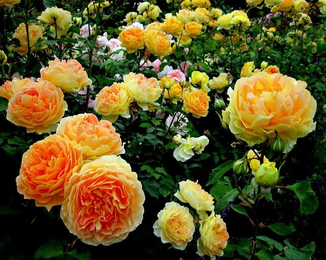 Hoa hồng vàng 2
