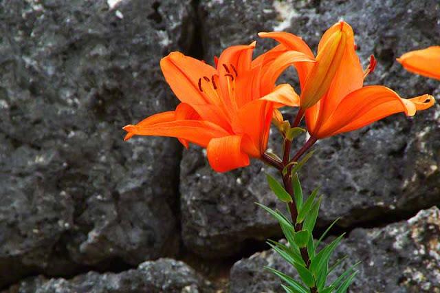 orange lily, flowers, Iejima, festival, Okinawa