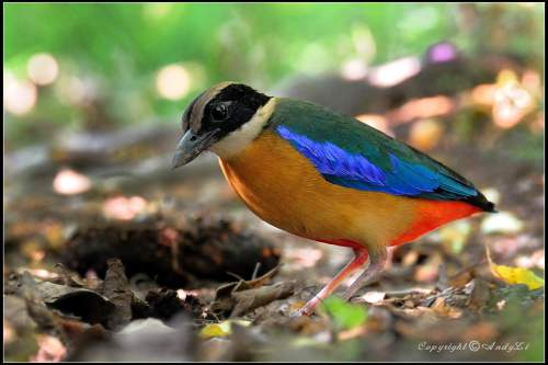 Birds of India - Photo of Blue-winged pitta - P. moluccensis