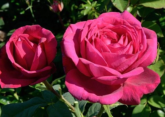 Goete Rose сорт розы фото