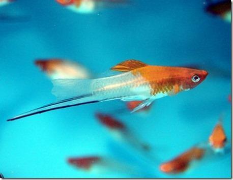 Cách nuôi cá kiếm (cá hồng kim)