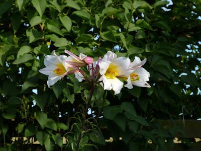 plantning af roser i haven