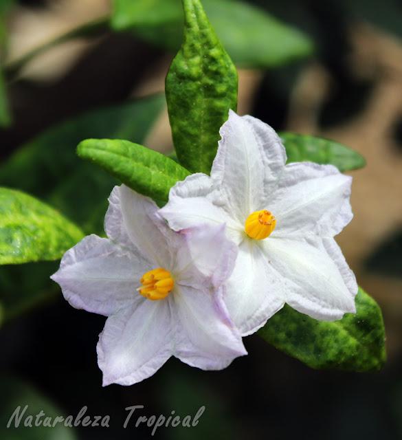 Flores de la planta Solanum havanense