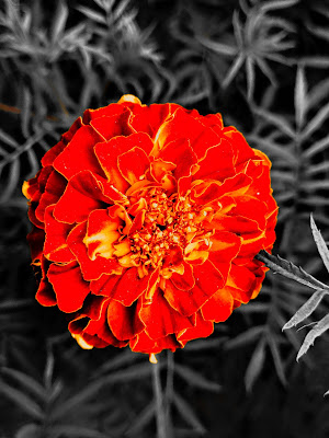 Mexican marigold Flowers Wallpaper Download