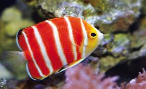 ikan hias termahal Peppermint Angelfish
