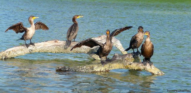 Oiseaux de la réserve naturelle de Rio Lagartos au Mexique