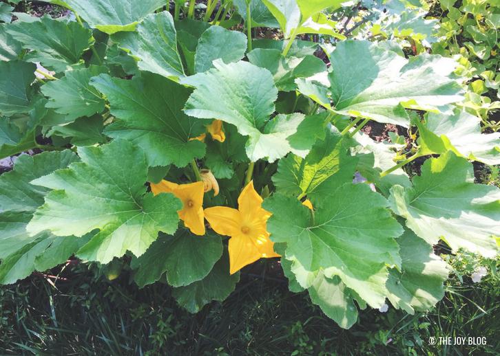 Zucchini Plant // Veggie Garden Updates: Mid Summer 2018 | www.thejoyblog.net