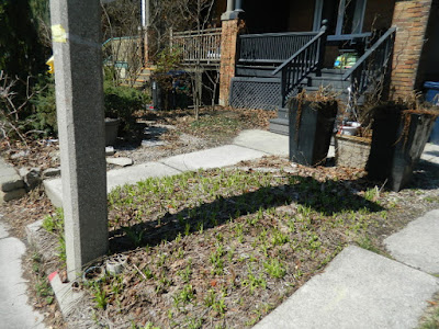Toronto Parkdale front garden spring clean up before by Paul Jung Gardening Services