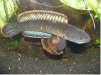 Channa Diplogramma (Malabar snakehead)