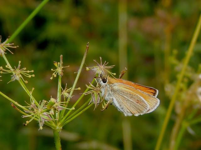 Reverso alar de Thymelicus lineola