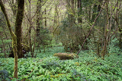 Springtime in the forest along Valserine river