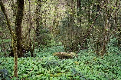 Springtime in the forest along Valserine river