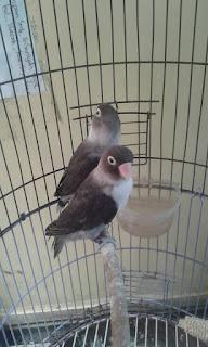 Cara menjodohkan lovebird dewasa