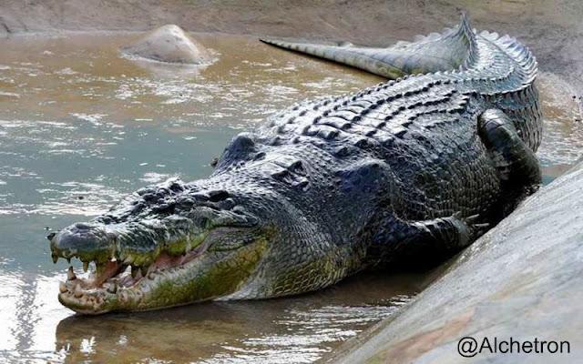 Ini Bedanya Buaya Dan Aligator