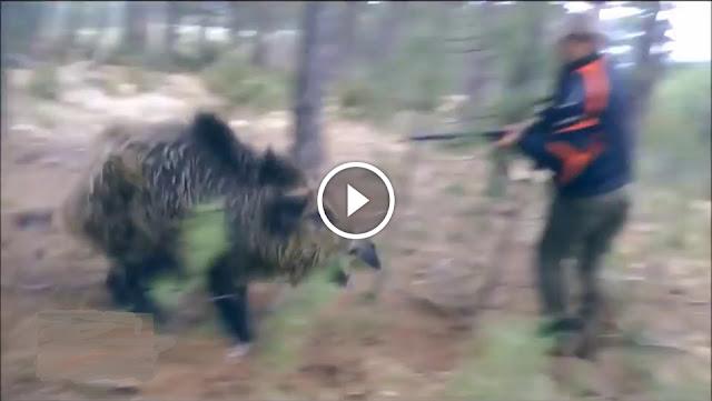 compilation des meilleurs moments de chasse aux sangliers