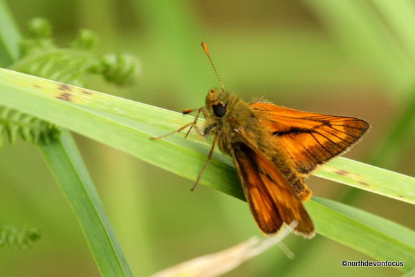Large Skipper -  Photo copyright Pat Adams North Devon Focus