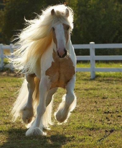 A raça mais rápida de cavalo, o famoso puro-sangue inglês ou PSI( thoroughbred ) alcança em média a incrível velocidade de 17 m/s ou 60 km/h.