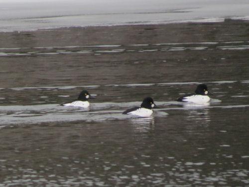 Common Goldeneye ducks