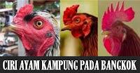 ayam kampung vs ayam siam