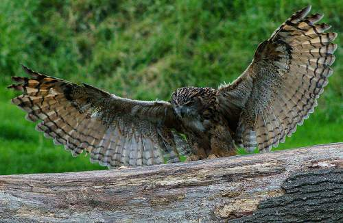 Birds of India - Photo of Eurasian eagle-owl - Bubo bubo