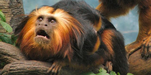 Gambar Lion Tamarin