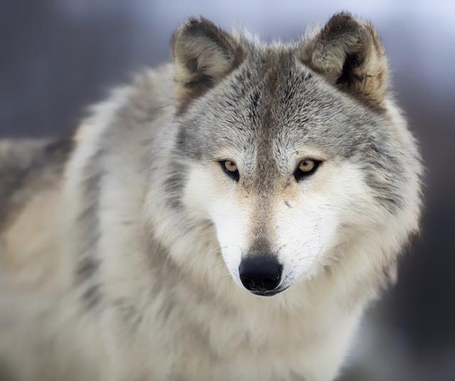 Carnivora wolf