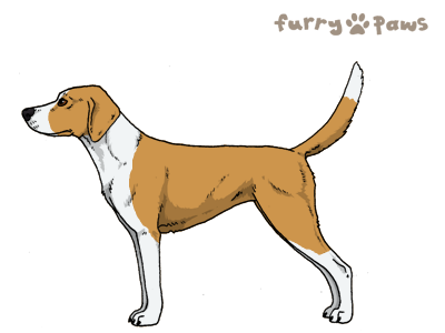 Furry-Paws Dog Breed Colors : Harrier Colors