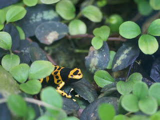 Dendrobate jaguar - Rainette jaguar - Dendrobates leucomelas