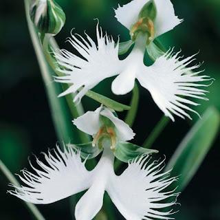 Gambar Bunga Anggrek Tercantik di Dunia 4