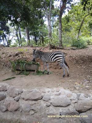 Zebra Taman Safari Prigen