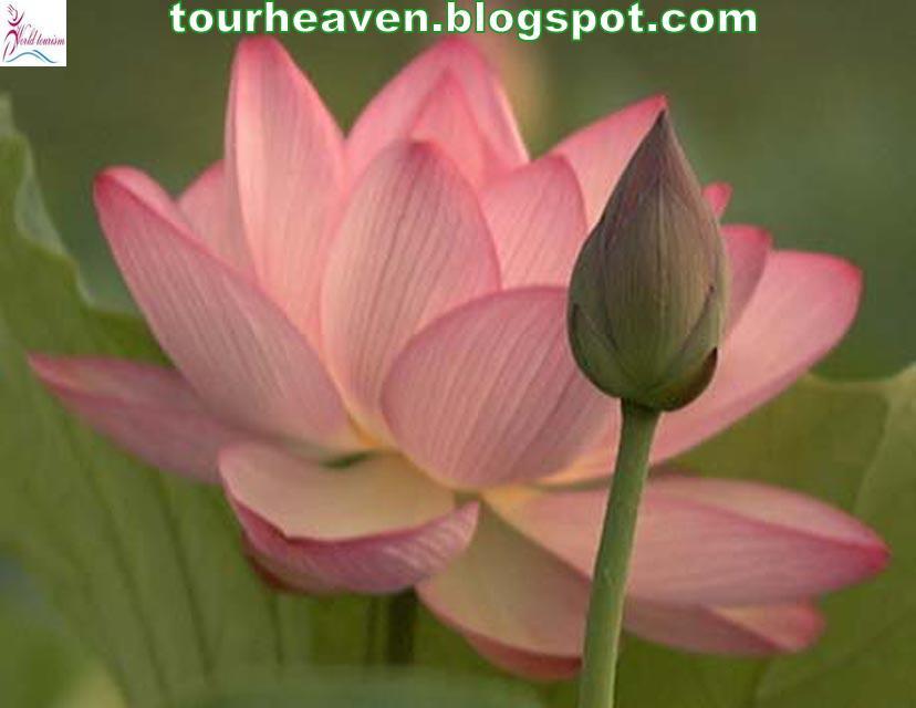 India National Symbols 7national Flowerlotus