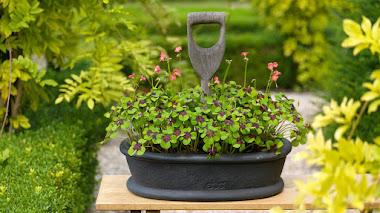 Variedades de Oxalis para el jardín
