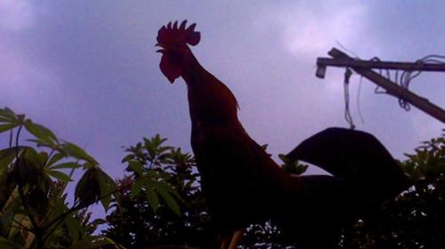 Memilih Ayam Aduan Berdasarkan Kokok(kluruk)