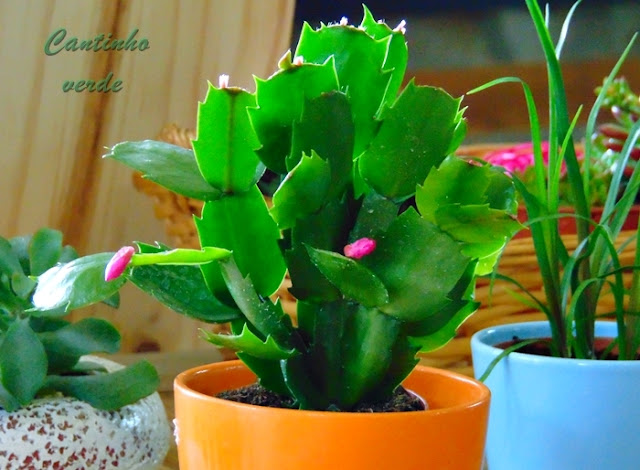 Cultivo da Flor de Maio Schlumbergera truncata