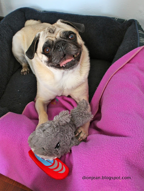 Liam the pug with his shark toy