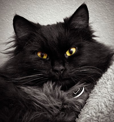Portrait photo of black cat Milo