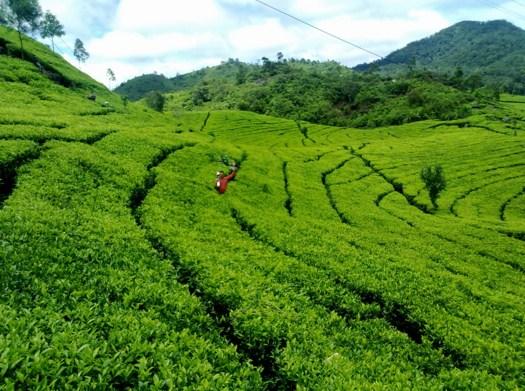 Landscape Kebun Teh Wonosari
