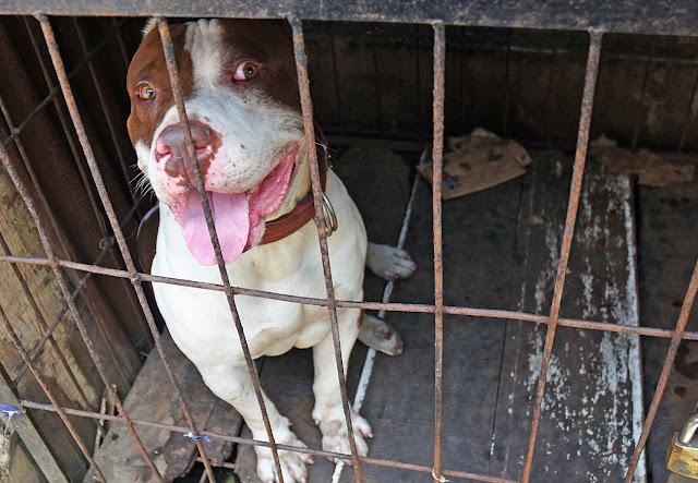Anjing Pitbull Gigit Anak Majikan Hingga Tewas