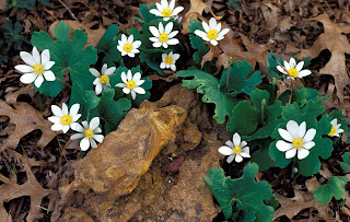 Kentucky Native Plant and Wildlife: Plant of the Week ...