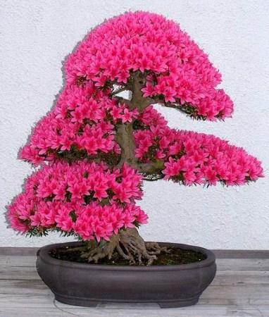 Momiji 紅葉 - the Most Beautiful Japanese Maple Tree – Lemiché |Beautiful Japanese Trees