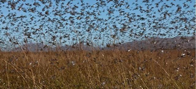 Εκατομμύρια ακρίδες τρώνε τις καλλιέργειες της Αργεντινής: Ανάστατοι οι μελισσοκόμοι φοβούνται για αλόγιστη χρήση φυτοφαρμάκων από τους αγρότες!!!