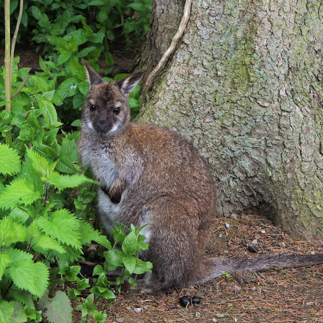 wallaby by tree