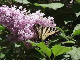 purple lilac tiger swallowtail butterfly project budburst
