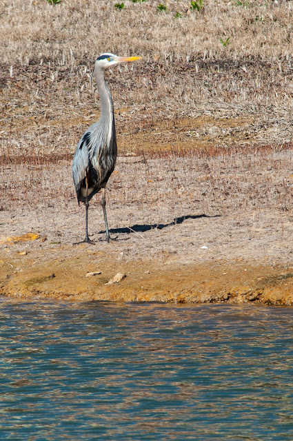 Great Blue Heron, Colleyville Nature Center