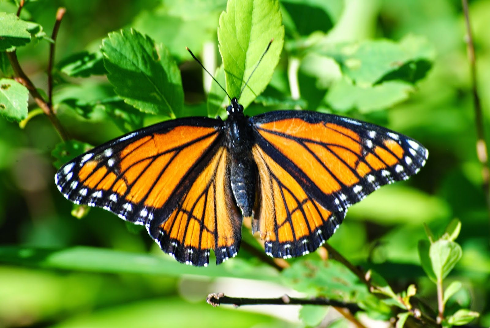 Viceroy in Maine!