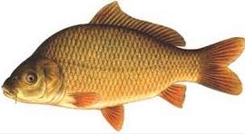 Klasifikasi Dan Morfologi insang Ikan Mas