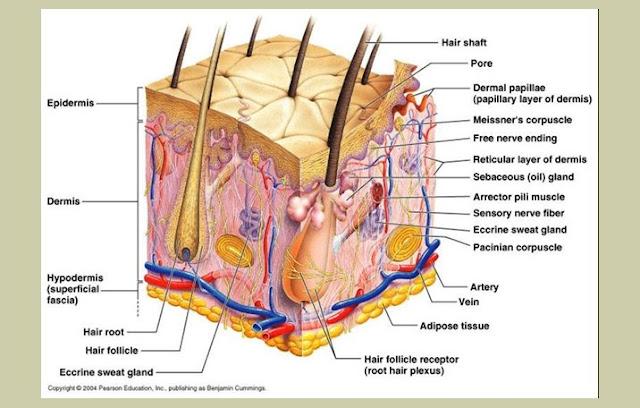 Pengertian Kulit, Struktur Kulit, Fungsi Kulit